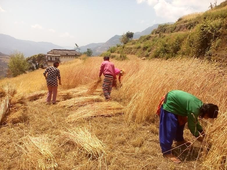 किसानलाई गहुँ भित्र्याउने चटारो