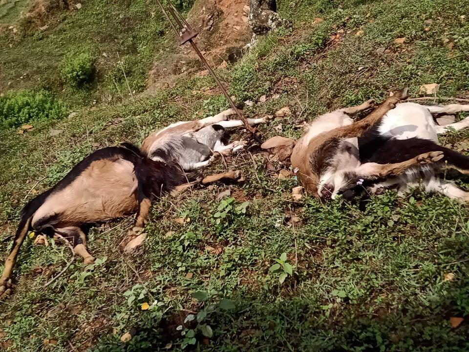करेन्टले तानेर ४ वटा बाख्रा मरे ...